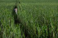 Wedding Couple in a corn fields