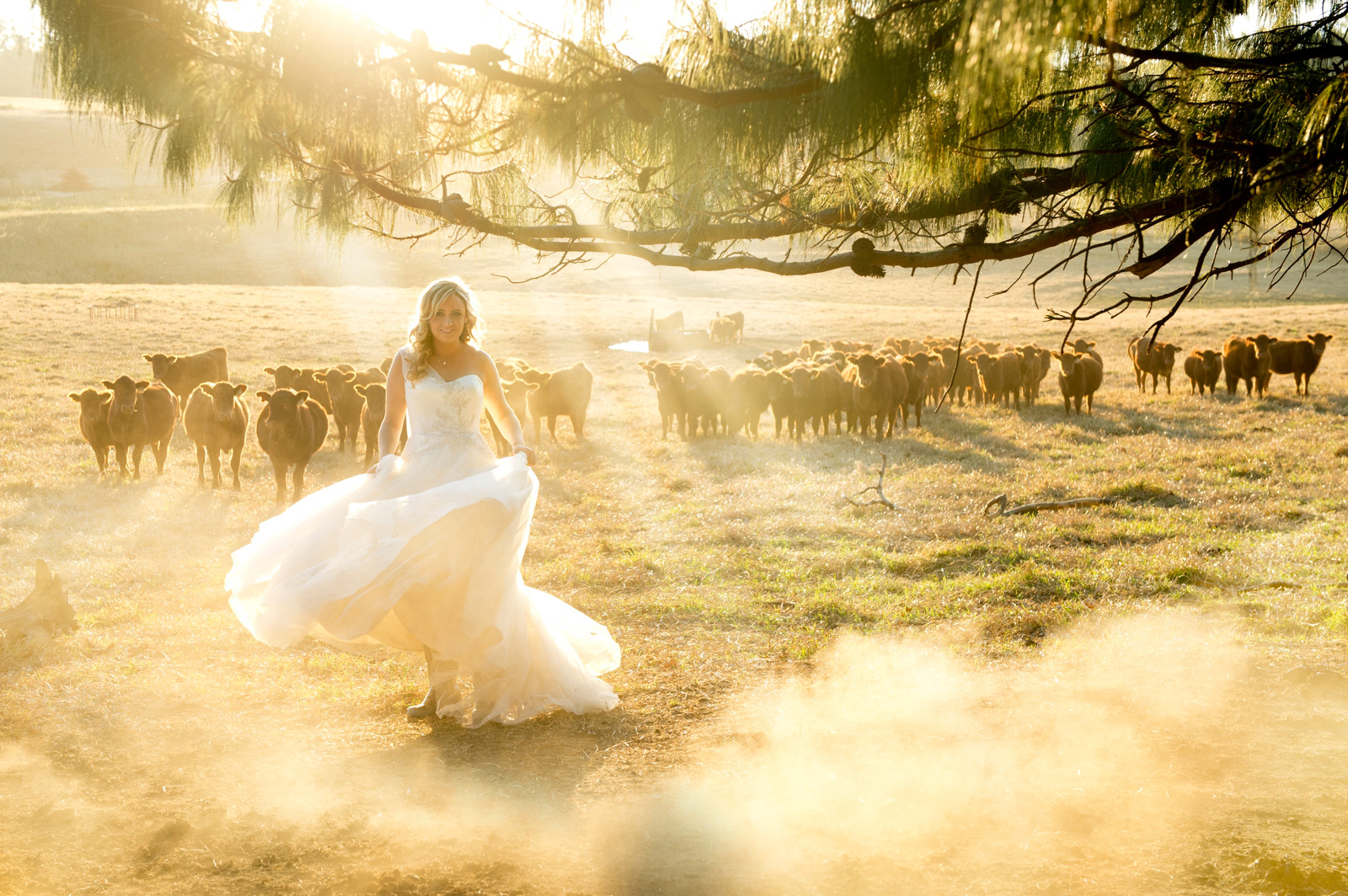 bride with dusty cattle